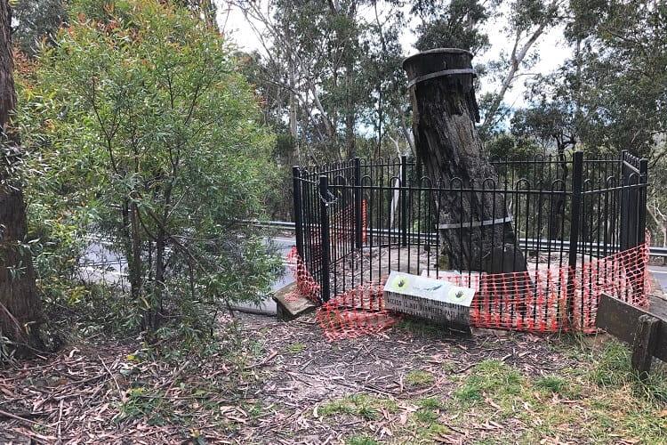 Explorers Tree in Katoomba