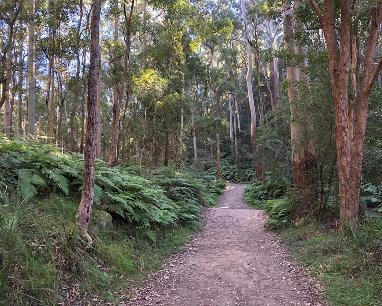 Gum forest in Hornsby