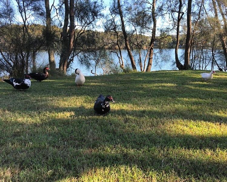 Wildlife at Narrabeen Lakes
